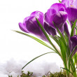 Stock Photo: Beautiful spring flower in the snow