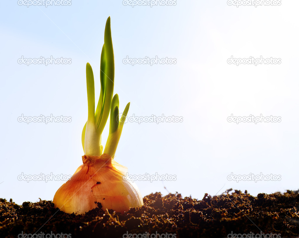 First spring onion, vegetables growing in the garden — Stock Photo #9341313