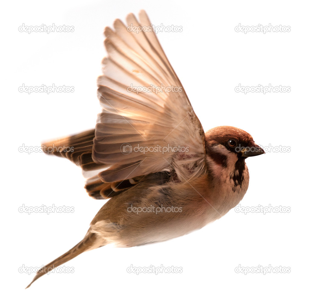 Flying  bird sparrow isolated on white background — Photo #9476953