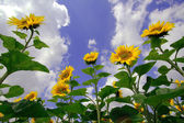 Sunflowers with clouds — Stockfoto