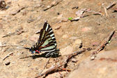 Zebra Swallowtail (Eurytides marcellus) — Photo