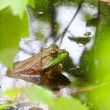 Bullfrog (Rana catesbeiana) — Stock Photo