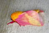 Rosy Maple Moth (Dryocampa rubicunda) — Stock Photo
