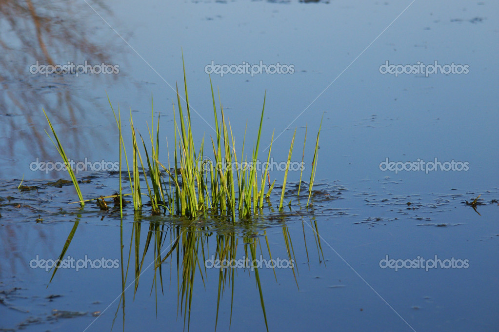 Aquatic vegetation emerges from an Illinois wetland in the spring. — Stock Photo #10211401