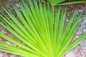 Saw Palmetto Background — Stock Photo