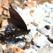 Stock Photo: Pipevine Swallowtail (Battus philenor)