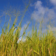 Stock Photo: Fields of Saint Kitts