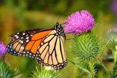 Monarch Butterfly (Danaus plexippus) — Foto Stock