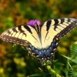 Tiger Swallowtail in Illinois — Stock Photo