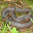 Queen Snake (Regina septemvittata) — Stock Photo