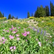 yellowstone national park wildflowers — Stock Photo