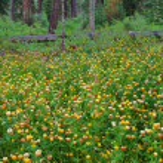 Wildflowers - Glacier National Park — Stock Photo #8016220