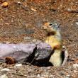 Columbian ground squirrel (Urocitellus columbianus) — Stock Photo