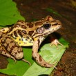 Stock Photo: Pickerel Frog (Ranpalustris)