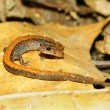 Stock Photo: Redback Salamander (Plethodon cinereus)