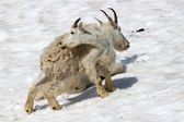 Mountain Goat (Oreamnos americanus) Juvenile — Stock Photo