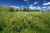 Bighorn national forest wildblumen — Stockfoto