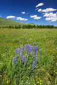 Bighorn National Forest Wildflowers — Stock Photo