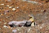 Columbian ground squirrel (Urocitellus columbianus) — Stock Photo