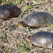 Blandings Turtles in Illinois — Stock Photo #8027451