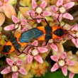 Stock Photo: Milkweed Bug (Oncopeltus fasciatus)