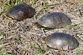 Blandings Turtles in Illinois — Stock Photo