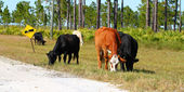 Cows on Military Base — Stock Photo