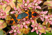 Milkweed Bug (Oncopeltus fasciatus) — Stock Photo