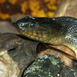 Mississippi Green Watersnake (Nerodia cyclopion) - Photo