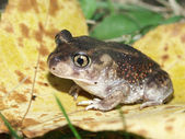 Spadefoot Toad (Scaphiopus holbrookii) — Stock Photo