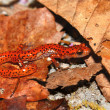 Cave Salamander (Eurycea lucifuga) — Stock Photo