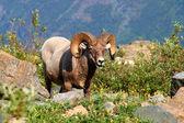 Bighorn sheep (Ovis canadensis) - Montana — Stockfoto