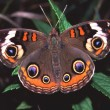 Buckeye Butterfly (Junonia coenia) — Photo
