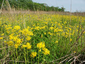 Wildflowers in a Illinois prairie — Photo