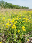 Flores silvestres en una pradera de illinois — Foto de Stock