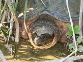 Каймановая черепаха (chelydra змеиный) — Стоковое фото