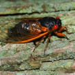 Periodical Cicada (Magicicada septendecim) — Stock Photo