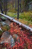 Lewis e clark, floresta de montana — Fotografia Stock