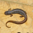 Four-toed Salamander in Illinois - Foto Stock
