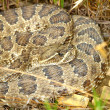 Stock Photo: Prairie Rattlesnake - South Dakota