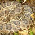 Prairie Rattlesnake - South Dakota — Stock Photo #8488438