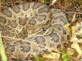 Prairie Rattlesnake - South Dakota — Stock Photo