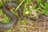 Queen Snake (Regina septemvittata) — Stock Photo