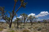 モハーベ砂漠でジョシュア ツリー — ストック写真