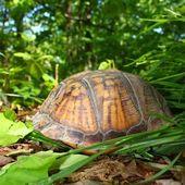 Box Turtle (Terrapene carolina) — Stock Photo