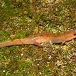 Dusky Salamander (Desmognathus conanti) — Stock Photo #8813315