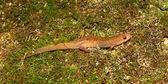 Dusky Salamander (Desmognathus conanti) — Stock Photo