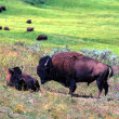 Bison - het nationaal park yellowstone — Stockfoto
