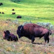 bisons - parc national d'yellowstone — Photo