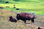 Bison - Yellowstone National Park — Stock Photo